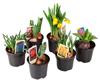 Kwiaty cebulowe mix: krokus, hjacynt, tulipan, narcyz, muscari