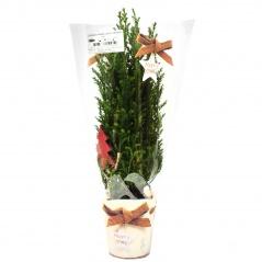 Cyprysik świąteczna folia