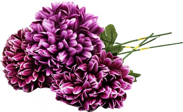 Chryzantema fiolet