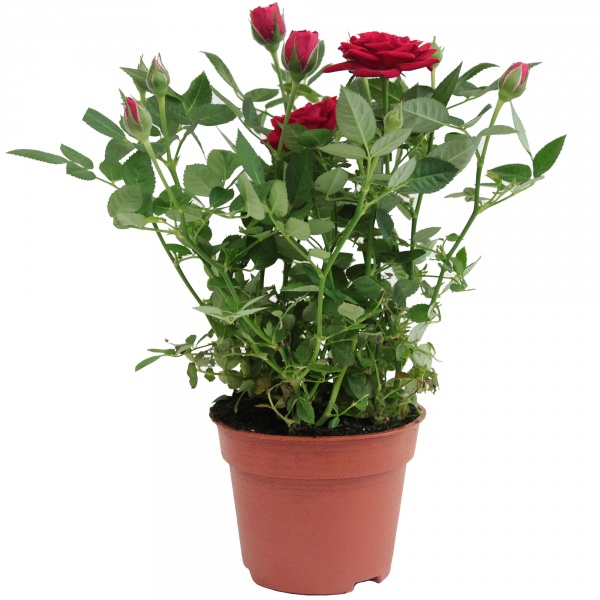 Róża doniczkowa mix
