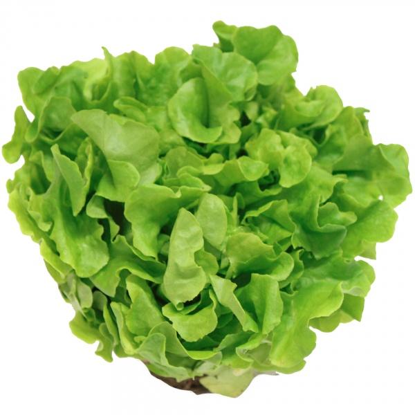 Sałata dębolistna zielona